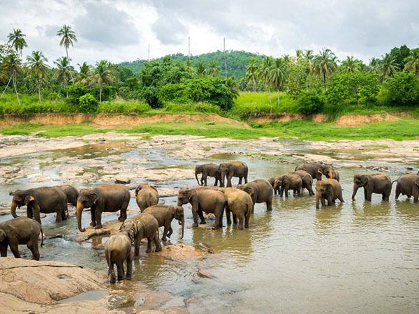 Pinnawala Elefantenwaisenhaus