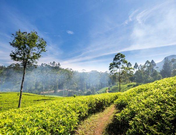 Teeplantagen und Teefabrik